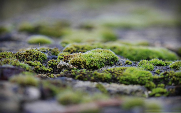 moss-Macro photography wallpaper Views:5403 Date:4/19/2012 11:28:44 PM