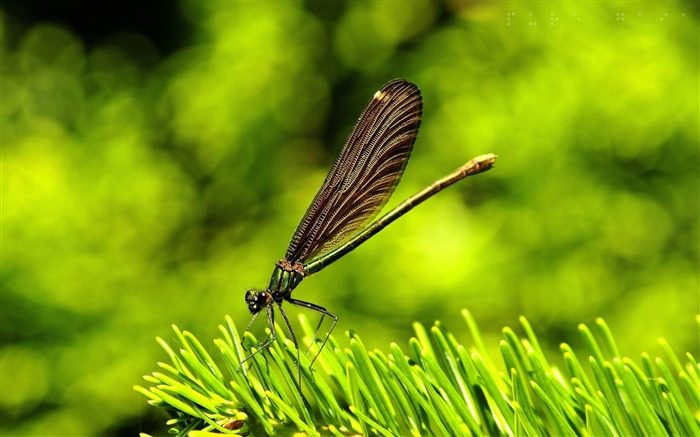 pretty dragonfly-all kinds of insects wallpaper Views:4390