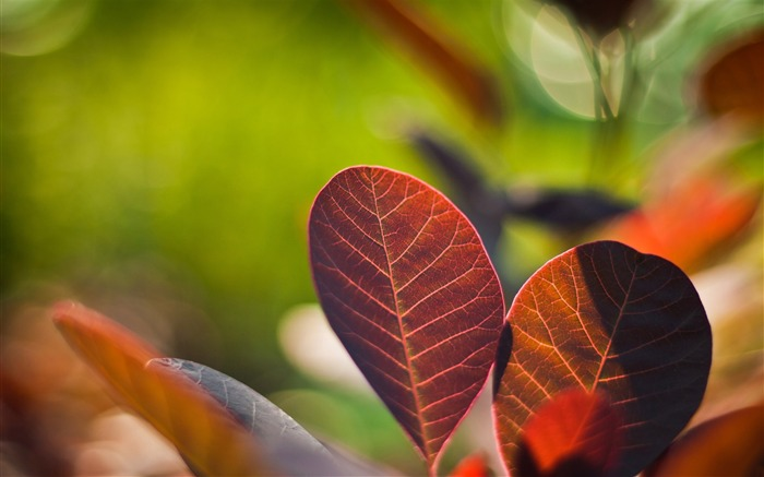 reddish leaves-Plant macro photography Wallpapers Views:6166