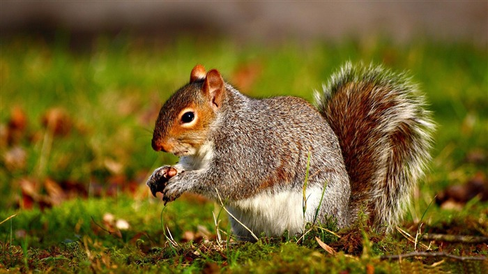 squirrel-Wild Animal HD Wallpapers Views:21936