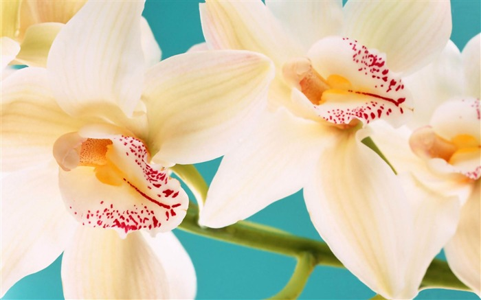 white orchids-Flowers Desktop wallpaper Views:5634 Date:4/12/2012 2:42:37 AM