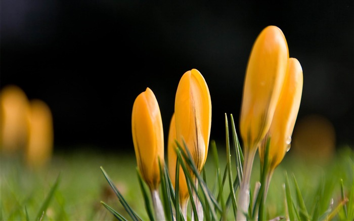 yellow crocus-Flowers Desktop wallpaper Views:6031 Date:4/12/2012 2:41:48 AM