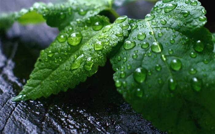 Droplets Green Leaves-natural plant wallpaper Views:5013