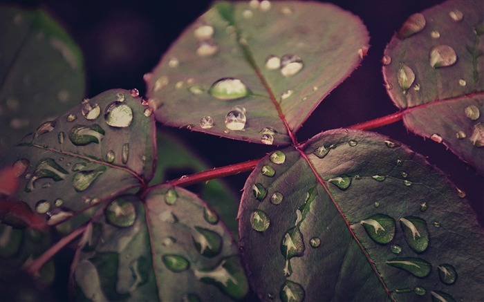 Droplets Leaves-natural plant wallpaper Views:5627
