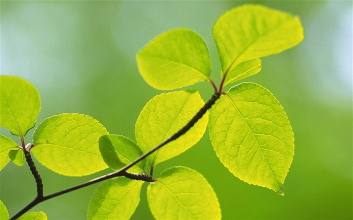 Green Leaves-natural plant wallpaper Views:5616