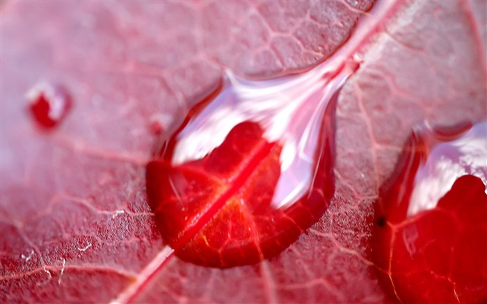 Red leaf Dew-natural plant wallpaper Views:5674