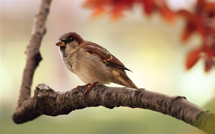 Sparrow-Animal photography wallpaper Views:4362