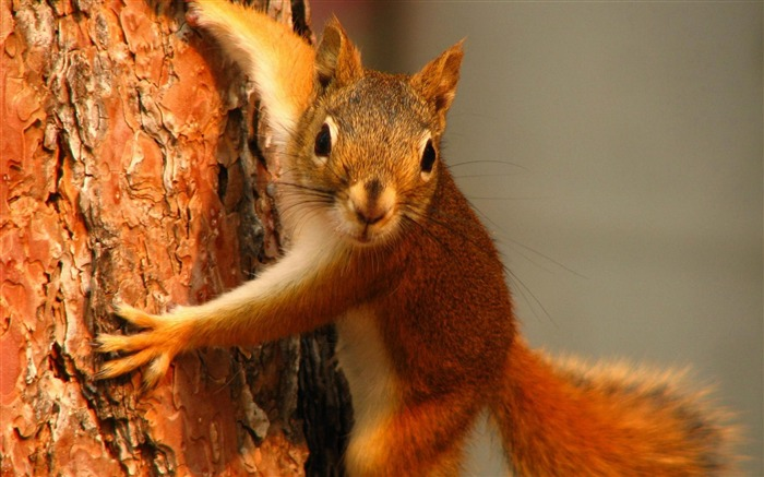 Squirrel on tree-Animal photography wallpaper Views:5179