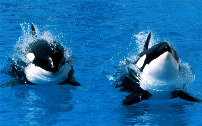 Treading Water Killer Whale-Animal photography wallpaper Views:27565