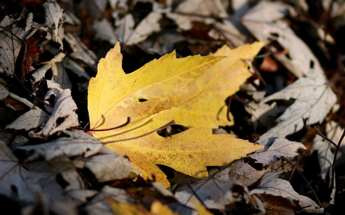Yellow Leaf Leaves-natural plant wallpaper Views:4281