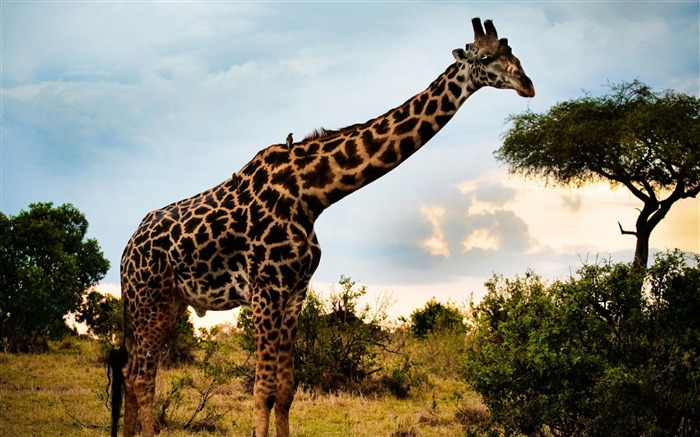 african giraffe-Animal photography wallpaper Views:8618
