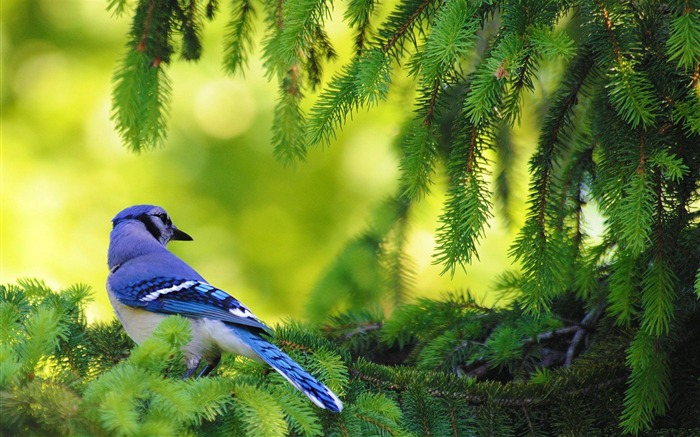 blue jay bird-Animal photography wallpaper Views:10825