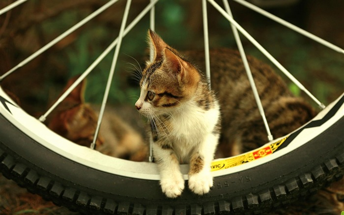 cat bicycle-Animal photography wallpaper Views:7196