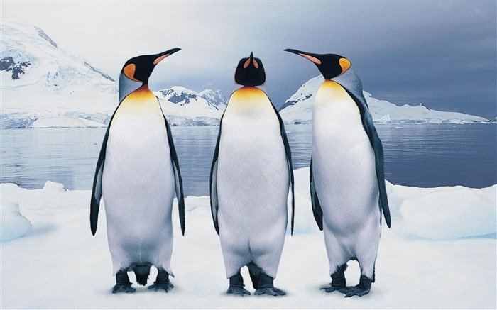 funny penguins-Animal photography wallpaper Views:11031