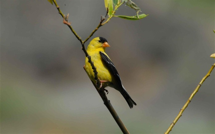 goldfinch perches-Animal photography wallpaper Views:5494