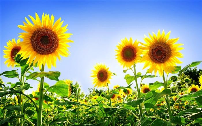 Titretournesols magnifiques,Été fleurs fond décran Vues17651