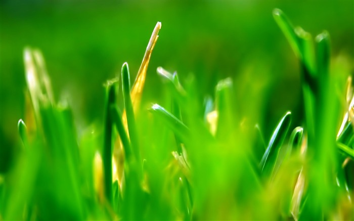 green grass-natural plant wallpaper Views:7848