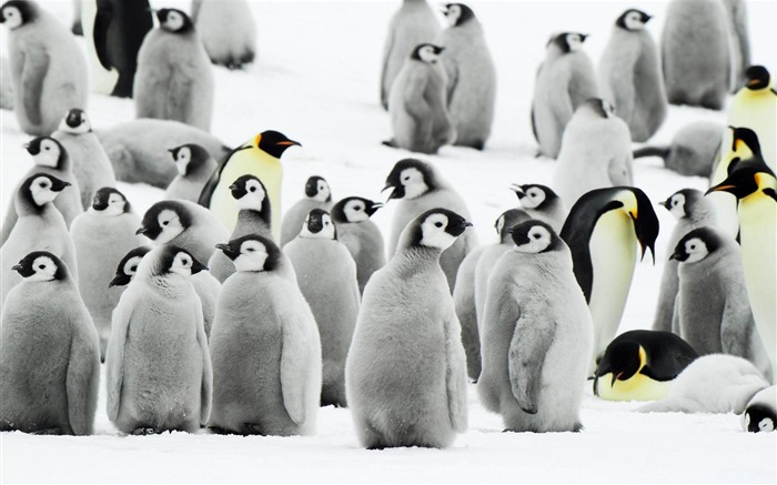 penguins-Animal photography wallpaper Views:6606