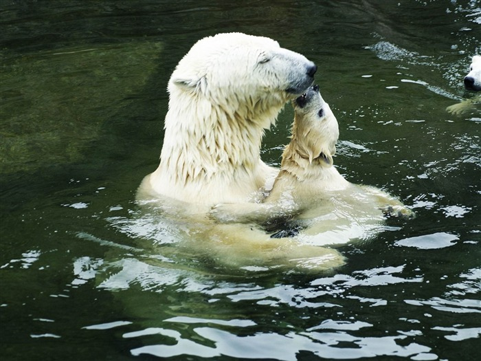 polar bears-Animal photography wallpaper Views:5224 Date:5/25/2012 10:17:32 PM