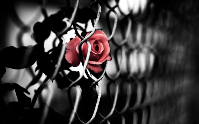 rose art-Artistic creation design wallpaper Views:18030 Date:5/6/2012 3:41:10 PM