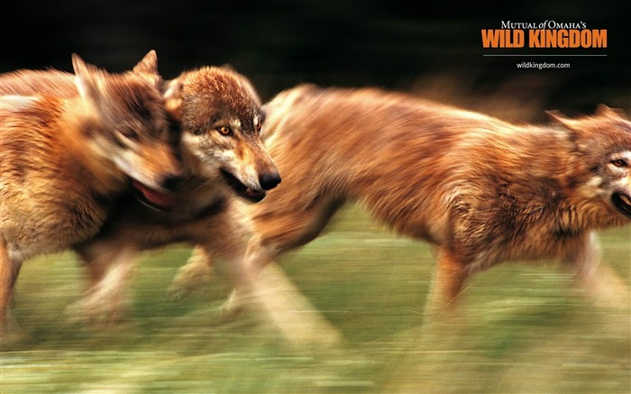 wolves-Animal photography wallpaper Views:3477