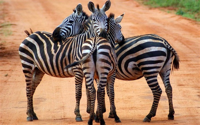 zebras-Animal photography wallpaper Views:4988 Date:5/25/2012 10:16:53 PM