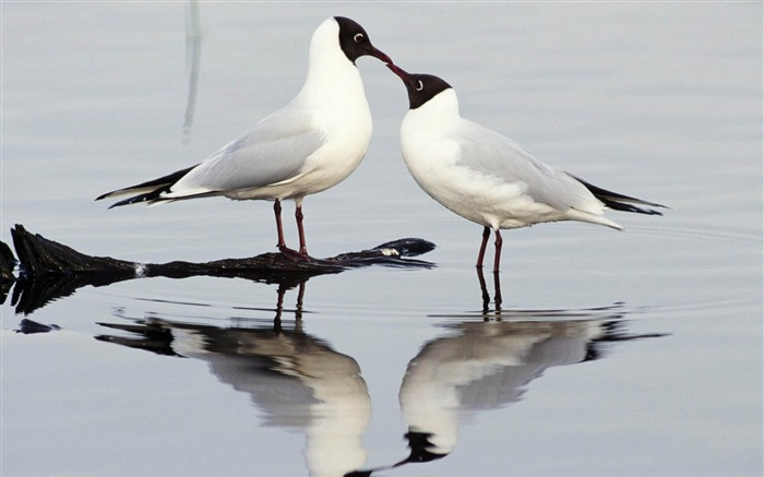 black headed gulls-Animal photography wallpaper Views:5119