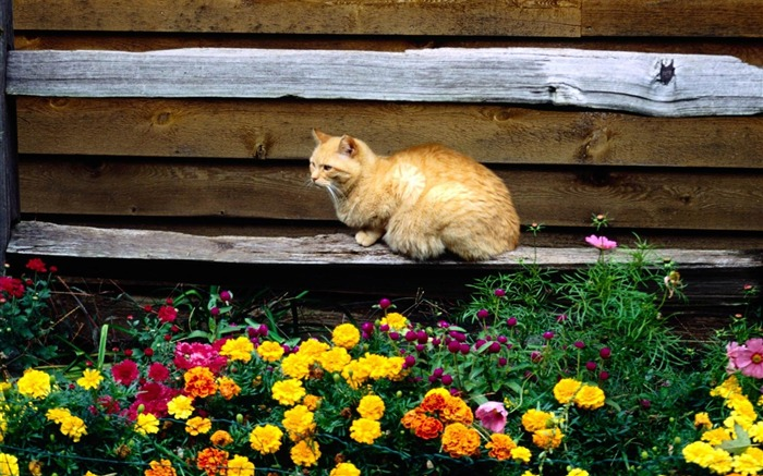 cat and flowers-Cat photography wallpaper Views:8281