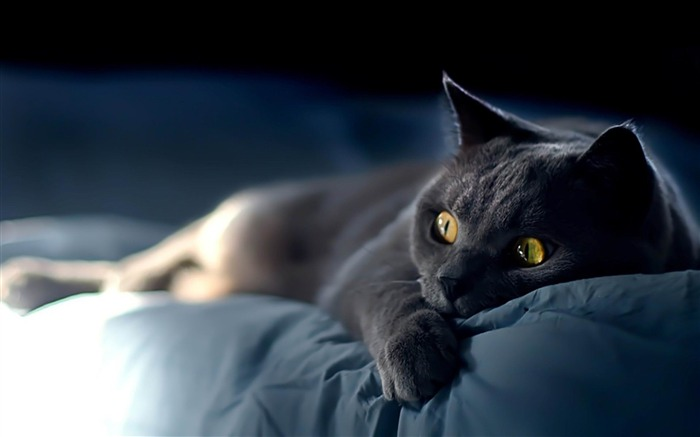 cat on blue sheets-Cat photography wallpaper Views:12548
