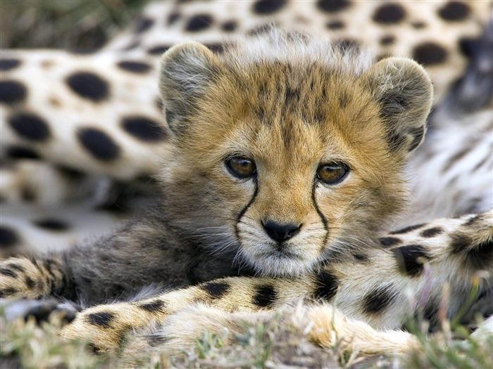 可爱的猎豹幼崽-动物摄影壁纸
