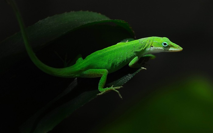 gecko-Animal photography wallpaper Views:6073