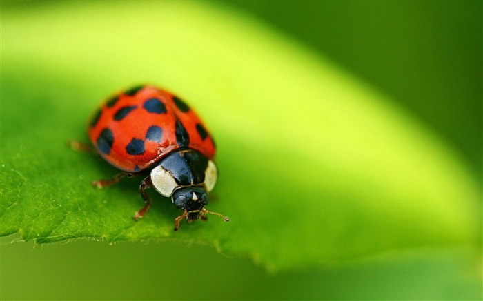 ladybug red-Animal photography wallpaper Views:4853
