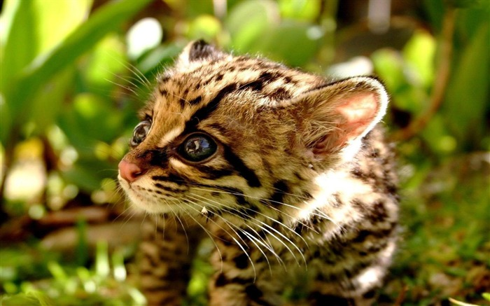 ocelot cub-Animal photography wallpaper Views:7224