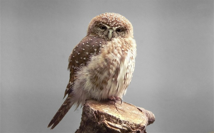 owl gray-Animal photography wallpaper Views:7610