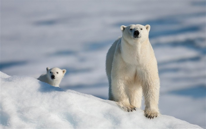 polar bear and baby-Animal photography wallpaper Views:27923