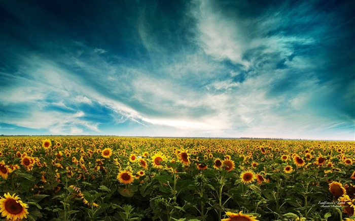 sunflowers-Dreamy and Fantasy wallpaper Views:4161
