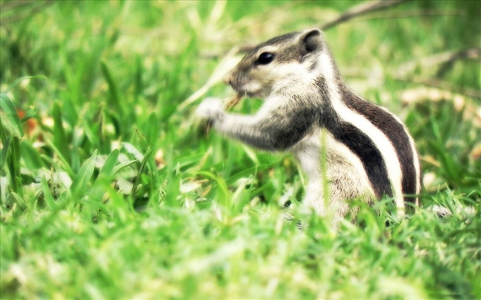 the real chipmunk-Animal photography wallpaper Views:6166