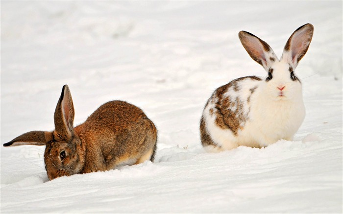 two rabbits-Animal photography wallpaper Views:4679