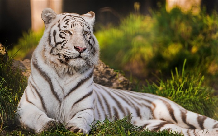 white tigers laying down-Animal photography wallpaper Views:12012
