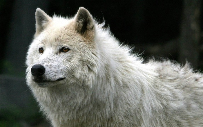 white wolf-Animal photography wallpaper Views:21688