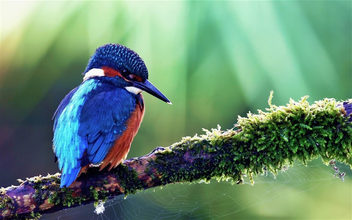 Colorful Kingfisher Computer Desktop Wallpaper Views:11880