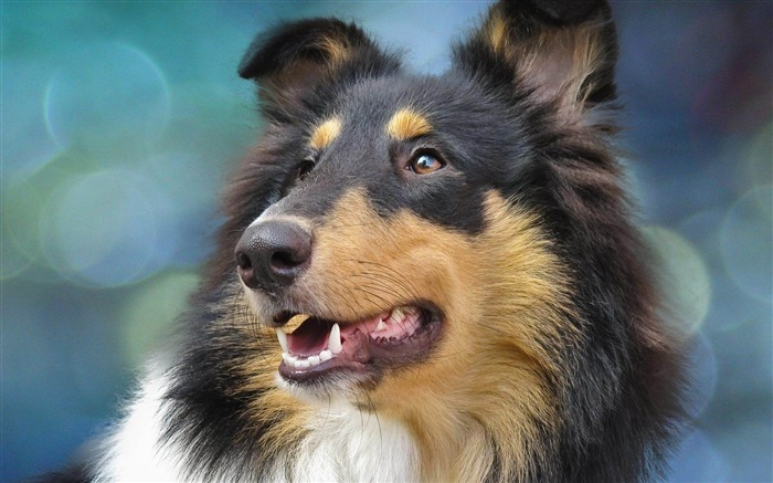 Dog Collie-Animal wallpaper selection Views:13713