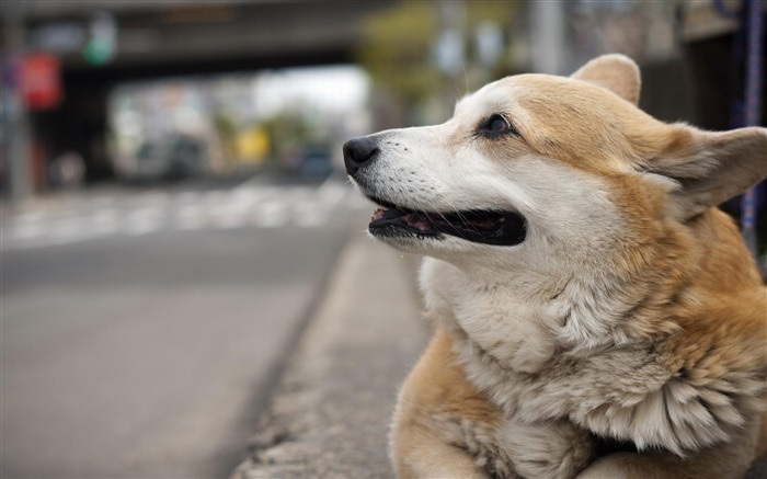 Dog Pembroke Welsh Corgi-Animal wallpaper selection Views:13987
