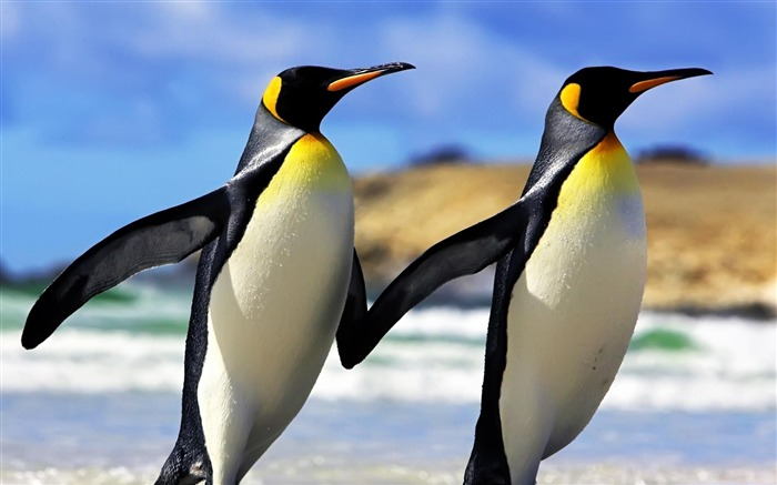 Emperor Penguins-Animal wallpaper selection Views:19303