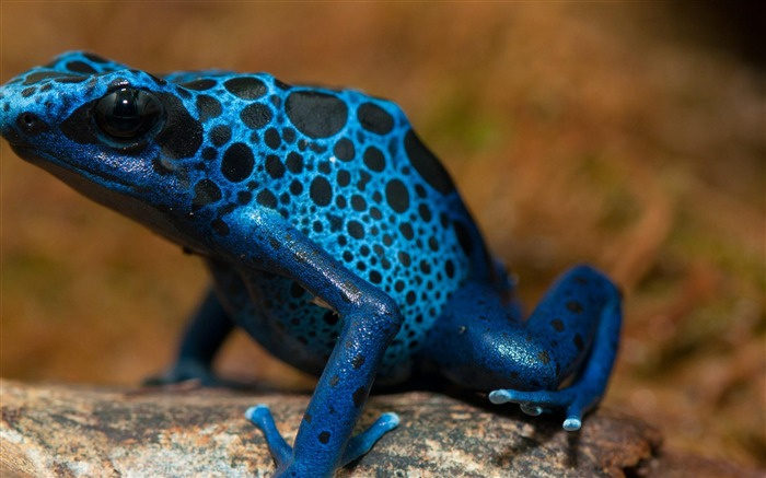 Frog Blue Poison Arrow Frog-Animal wallpaper selection Views:8800