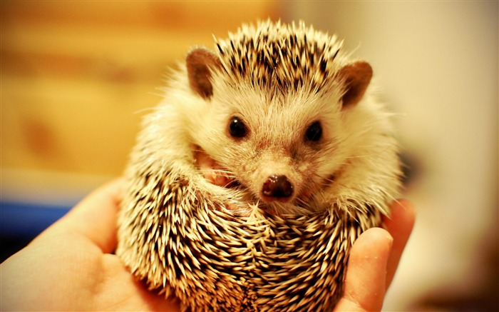 Hedgehog-Animal wallpaper selection Views:14084