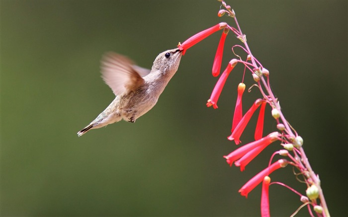 Hummingbird-Animal wallpaper selection Views:5876