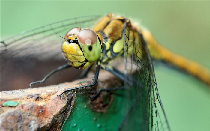 Insect Dragonfly-Animal wallpaper selection Views:5096