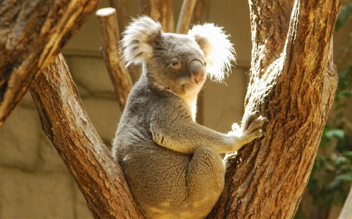 Koala-Animal wallpaper selection Views:7434