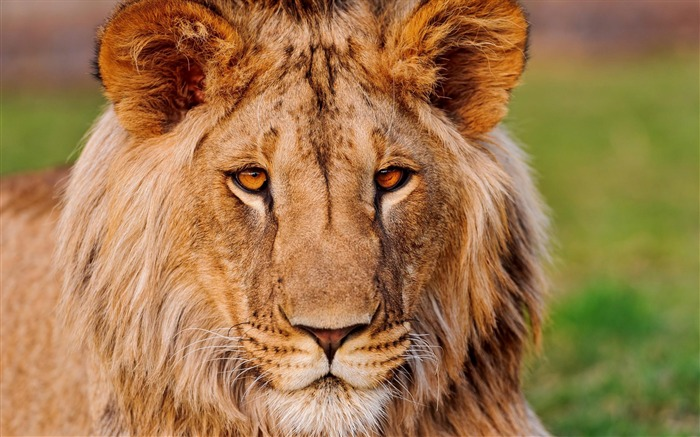 Lion-Animal wallpaper selection Views:6319